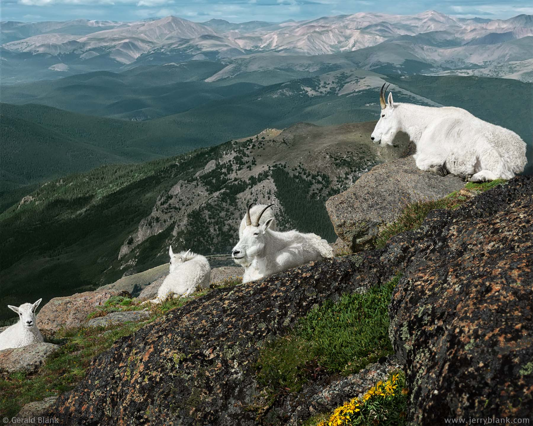 #20510 - Mountain goats with kids on the southern face of Mount Evans, Colorado - wildlife photo by Jerry Blank