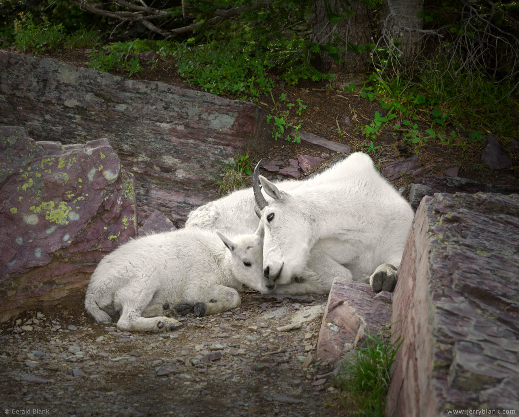 #25570 - A mountain goat kid rests with its mother in the shade on a summer afternoon, in Glacier National Park, Montana - wildlife photo by Jerry Blank