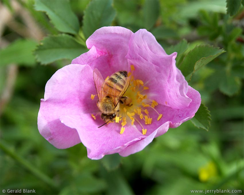 #00002 - Bee on wild rose, Little Missouri National Grassland, McKenzie County, North Dakota - photo by Jerry Blank