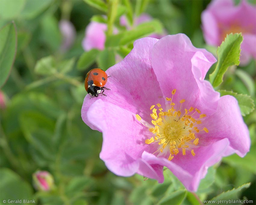 #00003 - Ladybug on wild rose, Little Missouri National Grassland, McKenzie County, North Dakota - photo by Jerry Blank