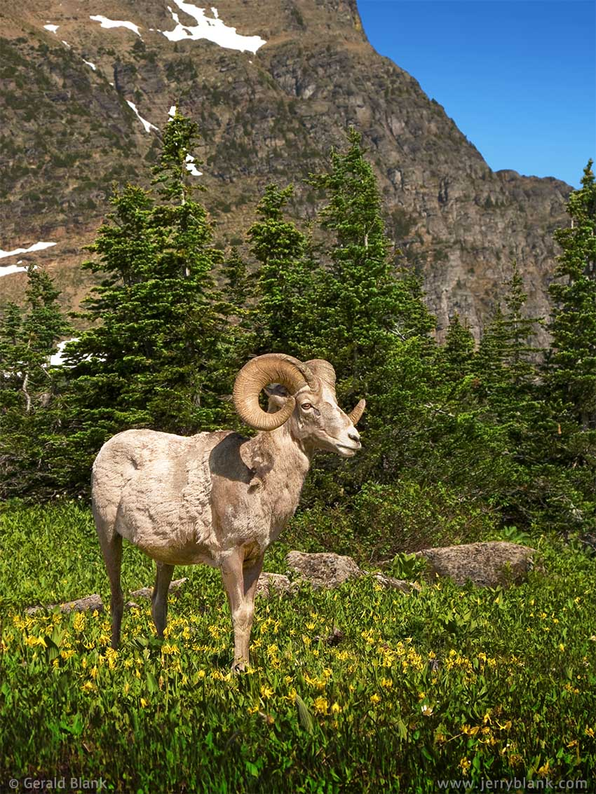 #00031 - Bighorn ram grazing on glacier lilies near Highline Trail, Glacier National Park, Montana - photo by Jerry Blank - photo by Jerry Blank