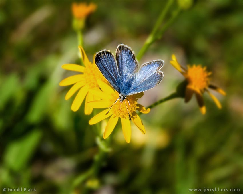 #00837 - A blue copper butterfly feeding at a yellow groundsel, in Montana's Custer Gallatin National Forest - photo by Jerry Blank