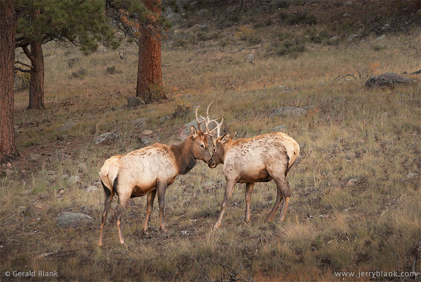 06422 - A pair of juvenile elk engage in playful sparring, in the Moraine Park area of Rocky Mountain National Park, Estes Park, Colorado - photo by Jerry Blank