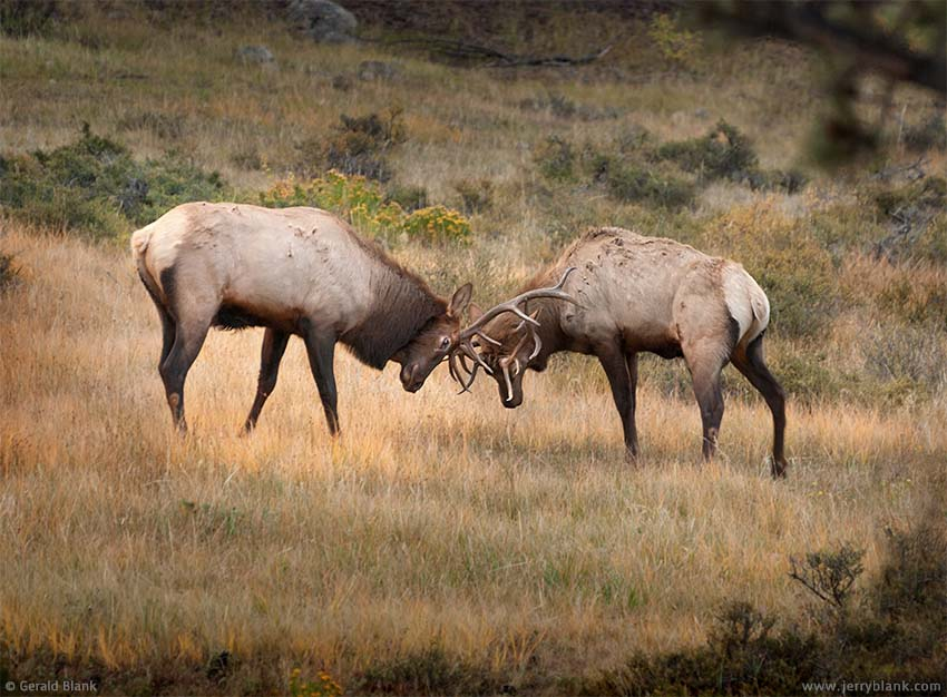 #06428 - Bull elk sparring in Rocky Mountain National Park, Colorado - photo by Jerry Blank