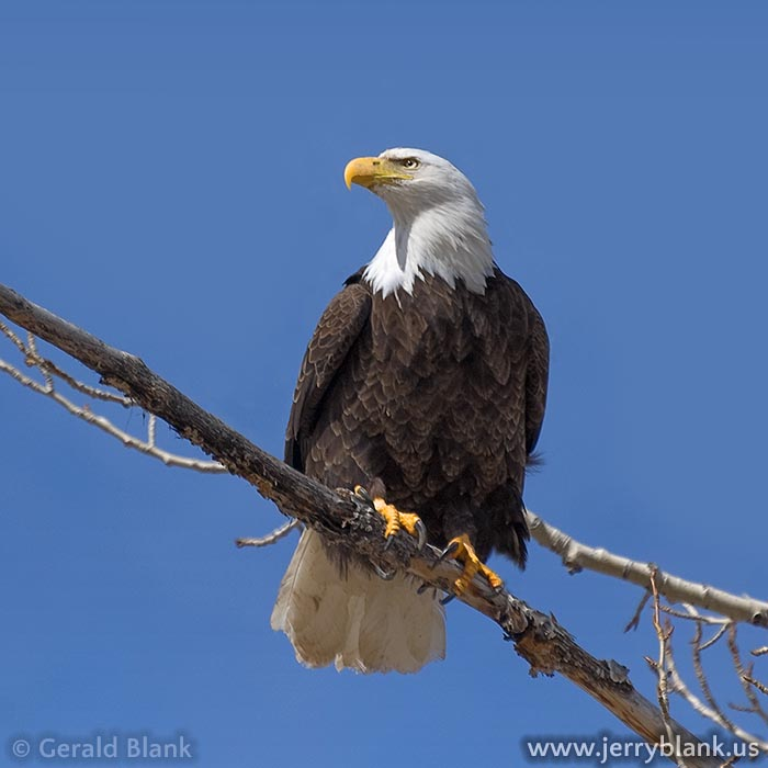 #07306 - Bald eagle at Mill Creek, north of Yellowstone National Park, Montana - photo by Jerry Blank