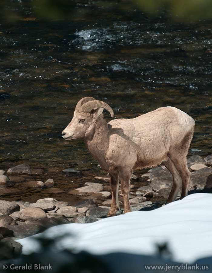 #07413 - A bighorn ram pauses alongside the Gallatin River, near US Highway 191 in Montana - photo by Jerry Blank