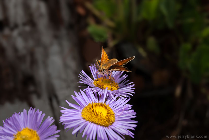 #09484 - A grass skipper visits mountain asters above Truman Gulch, Bridger Mountains, Montana - photo by Jerry Blank