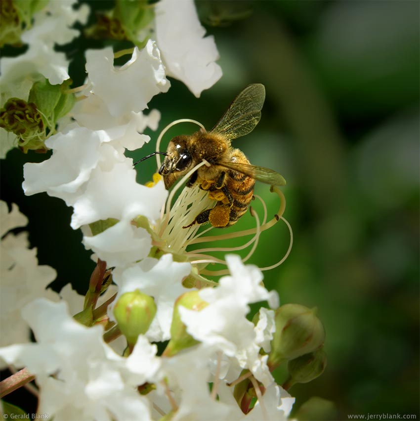 #20072 - Honeybee visits crepe myrtle blossoms in Orange County, Florida, in springtime - photo by Jerry Blank