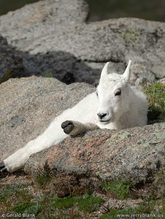 #20530 - A mountain goat kid rests in the sun on Mount Evans, Colorado - photo by Jerry Blank