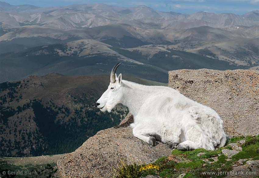 #20537 - A mountain goat enjoys the view from Mount Evans, Colorado - photo by Jerry Blank