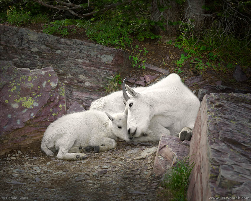 #25570 - A mountain goat kid rests with its mother in the shade on a summer afternoon - photo by Jerry Blank
