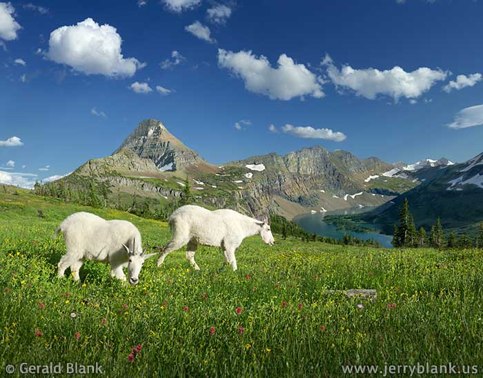 #26111 - Mountain goats grazing in an alpine meadow above Hidden Lake in Glacier National Park, Montana, with Reynolds Mountain and the Dragon's Tail in the background - photo by Jerry Blank